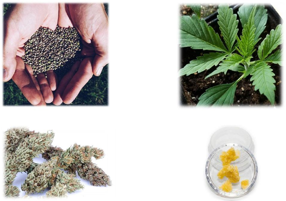 """alt=""""From seed to CBD products"""""""