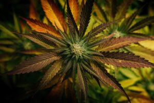 """alt=""""Evidenz der Wirksamkeit und Sicherheit von Cannabispräparaten bei chronischen Schmerzen"""""""
